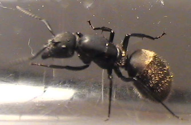 Abrigos de la hormiga